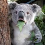 koala_cant_believe