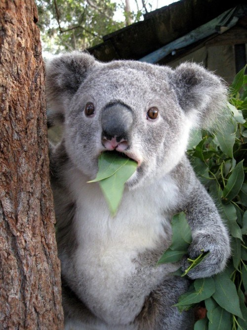 <h2>Koala can&#8217;t believe it</h2>